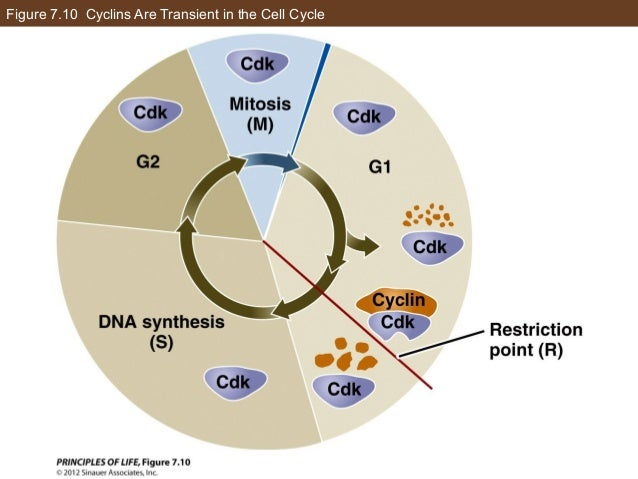 Figure 7.10 Cyclins Are Transient in the Cell Cycle