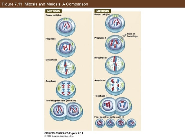 Figure 7.11 Mitosis and Meiosis: A Comparison