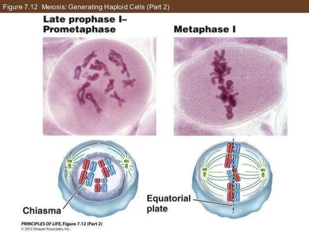 Figure 7.12 Meiosis: Generating Haploid Cells (Part 2)