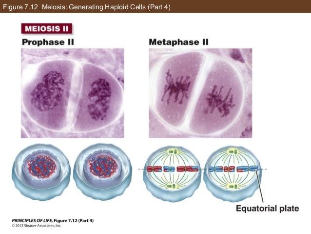 Figure 7.12 Meiosis: Generating Haploid Cells (Part 4)