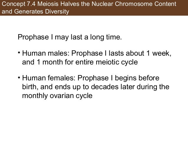 Concept 7.4 Meiosis Halves the Nuclear Chromosome Content and Generates Diversity Prophase I may last a long time. • Human...