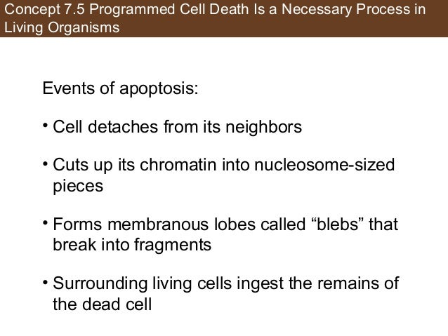 Concept 7.5 Programmed Cell Death Is a Necessary Process in Living Organisms Events of apoptosis: • Cell detaches from its...