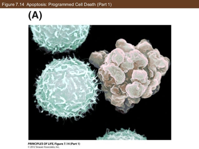 Figure 7.14 Apoptosis: Programmed Cell Death (Part 1)
