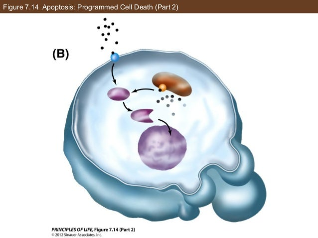 Figure 7.14 Apoptosis: Programmed Cell Death (Part 2)