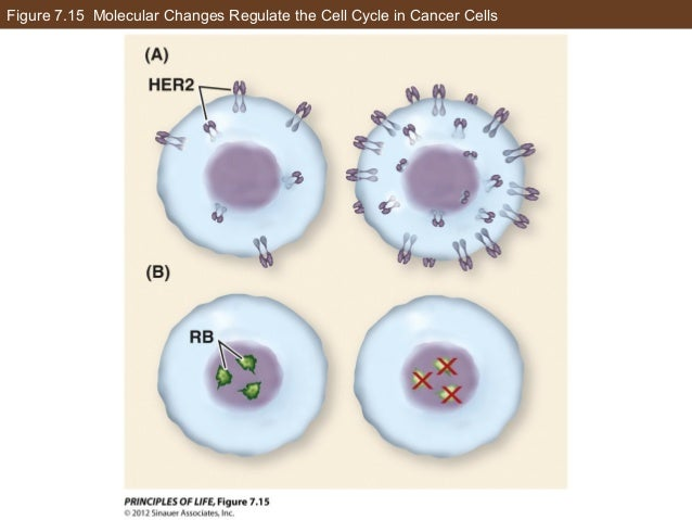 Figure 7.15 Molecular Changes Regulate the Cell Cycle in Cancer Cells