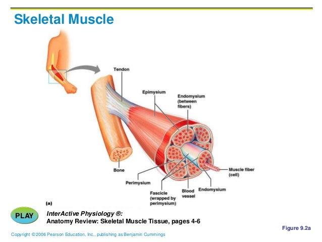 Ch09 a. muscles tissue