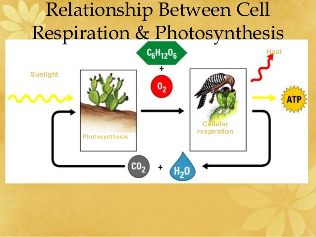 the relationship of cellular respiration and photosynthesis