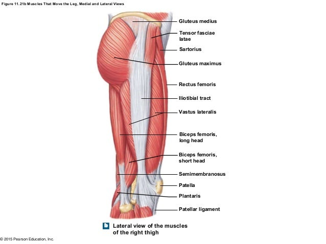 Thigh Muscle Diagram Lateral View Circuit Diagram Symbols