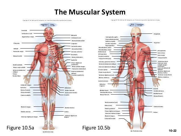 the muscular system worksheet Termolak – Muscular System Worksheets