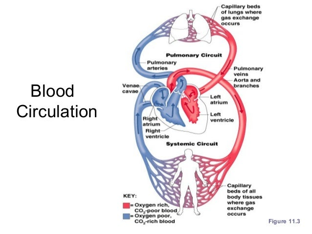THE CARDIOVASCULAR SYSTEM CHAPTER 4