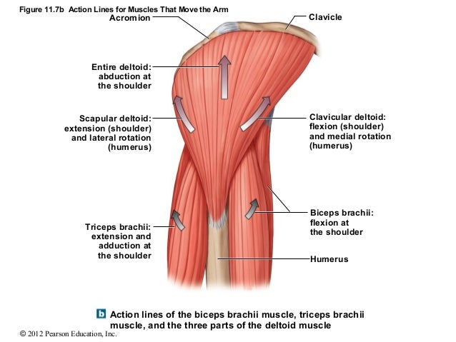 Unique Deltoid Muscle Location Model - Anatomy And Physiology ...