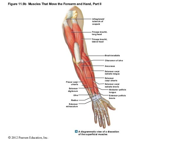 figure 11 9b muscles that move the forearm and hand