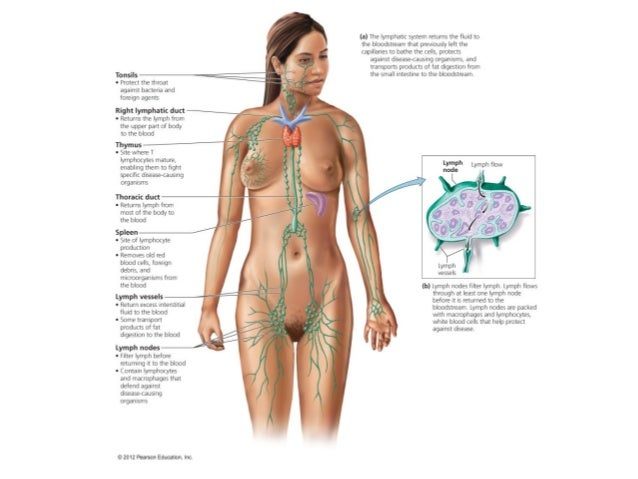 Ch11 Or 13 Body Defenses Lymphatic System