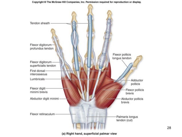 Thumb Muscle Diagram - Wiring Diagram •