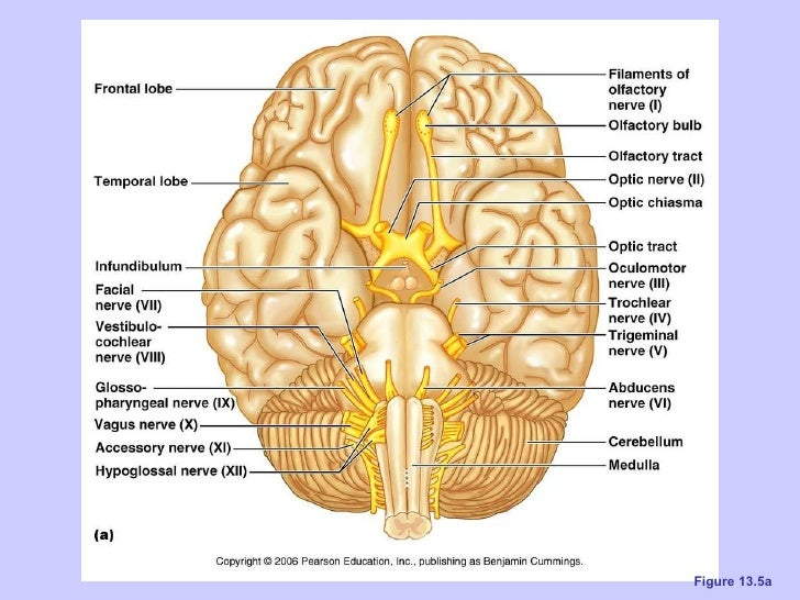Ch 13 The Peripheral Nervous System And Nervous Activity