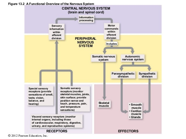 Ch 13lecturepresentation 2012 pearson education inc 10 figure 132 a functional overview of the nervous system ccuart Choice Image