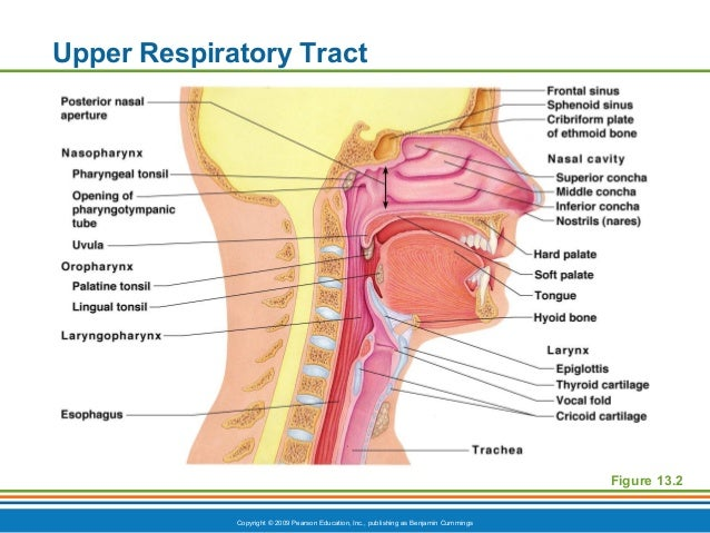 Ch13ppt respiratory system standard