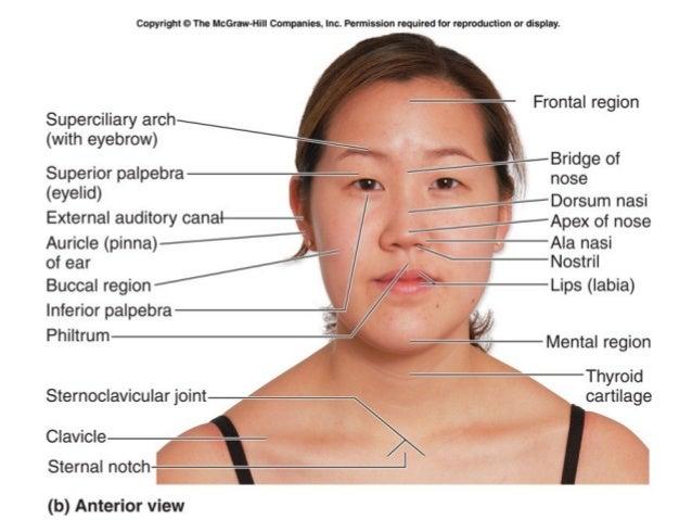Nose surface anatomy