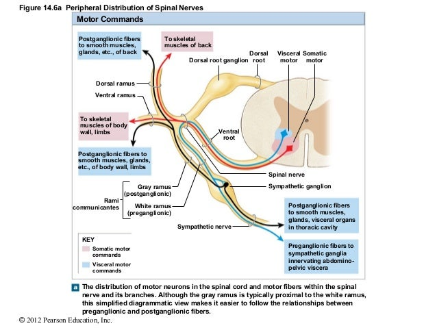 Ch 14lecturepresentation 39270686 as well Fin further 2 Hand Out further Fetal Pig External Anatomy Digestive System Functions Essay F277ef additionally List of systems of the human body. on ventral cavity muscles
