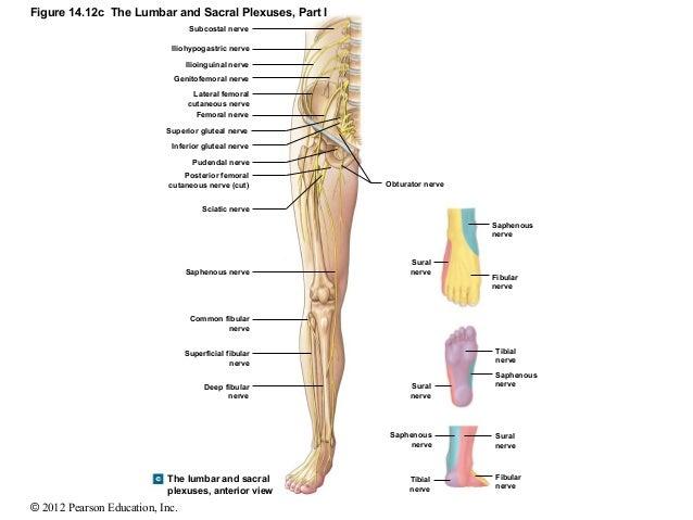 cervical nerve roots - klejonka, Muscles