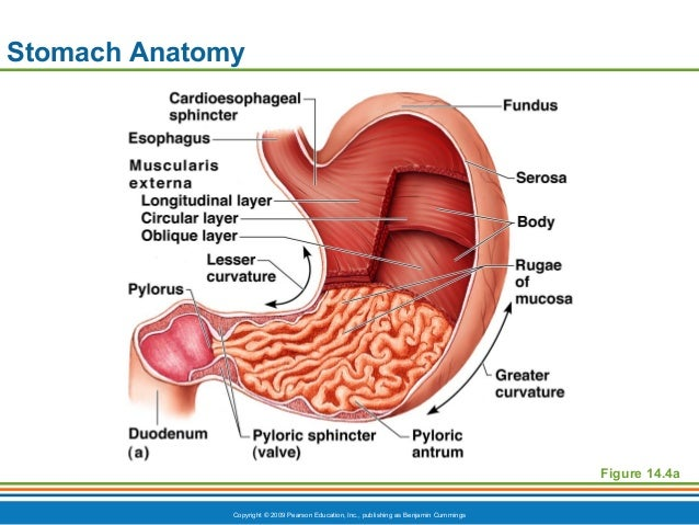 Ch14ppt digestive honors