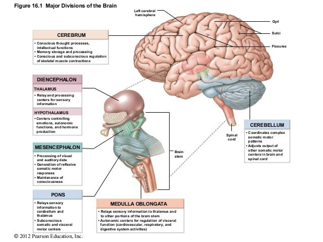 what are the functions in visual processing of each of the major structures identified on Structures which make up each brain division, the location of each, and a short summary of the function  • involved in speech production and processing language location:  midbrain visuomotor functions, visual reflexes, auditory relays, motor coordination thalamus part of the diencephalon within the forebrain projects information to.