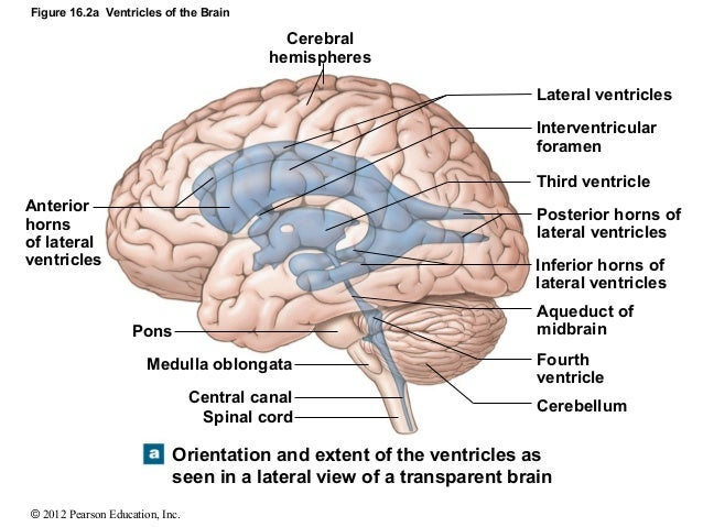 Side profile brain diagram application wiring diagram ch 16 lecture presentation rh slideshare net human brain diagram blank brain diagram underneath ccuart Gallery