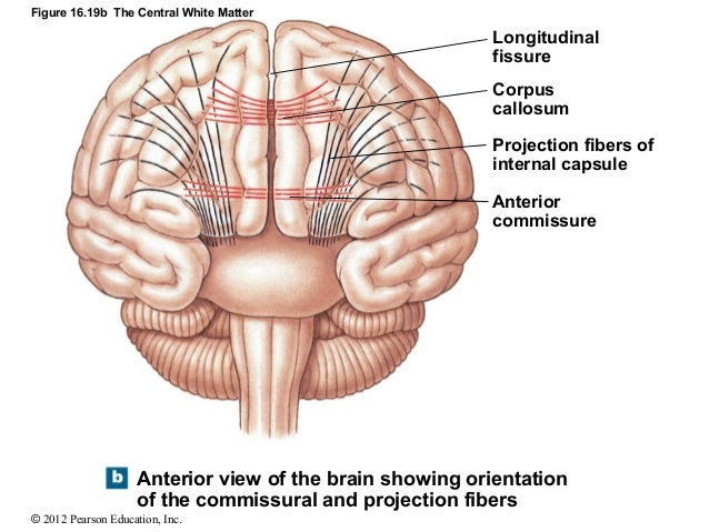 the corpus callosum the other great forebrain commissures