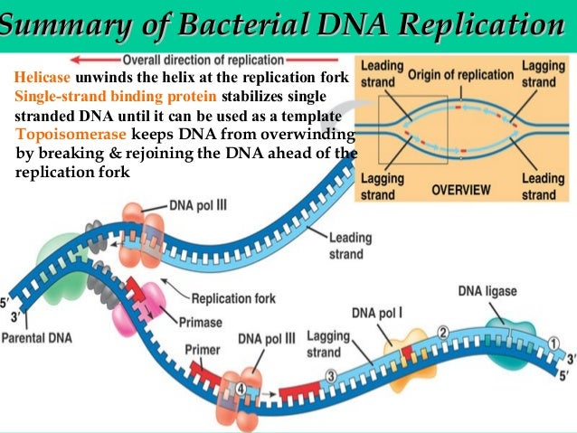 Bacterial dna replication gidiyedformapolitica bacterial dna replication ccuart Choice Image