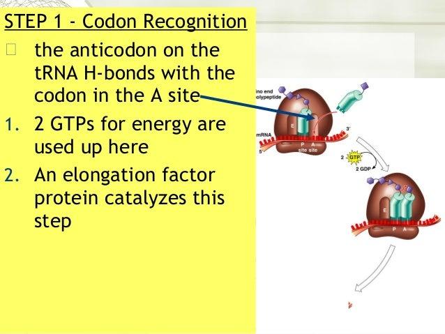 AP Biology Ch. 14 part 2 Translation