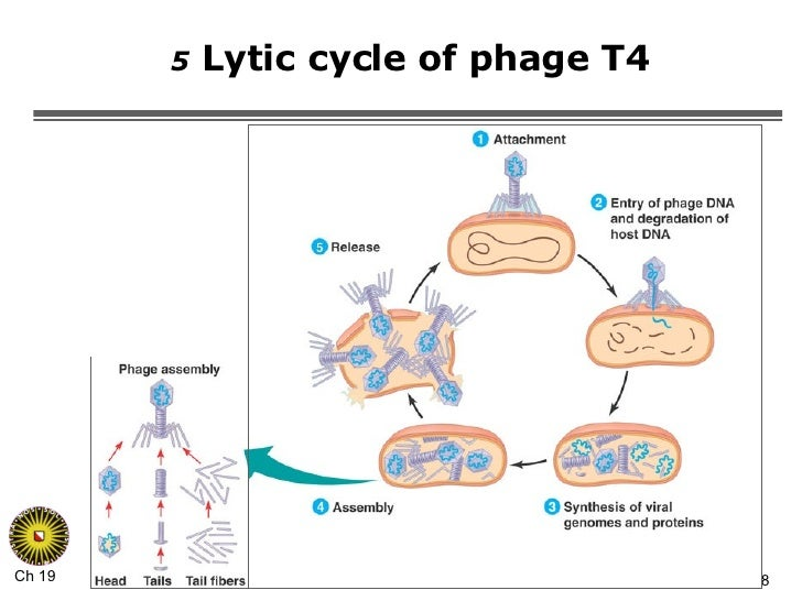 lytic cycle essay The lysogenic cycle is the initial cycle that occurs before the lytic cycle in this cycle, a new genetic material (a prophage) is formed due to the coalescence between the nucleic acid in the bacteriophage and the host bacterium's genome.
