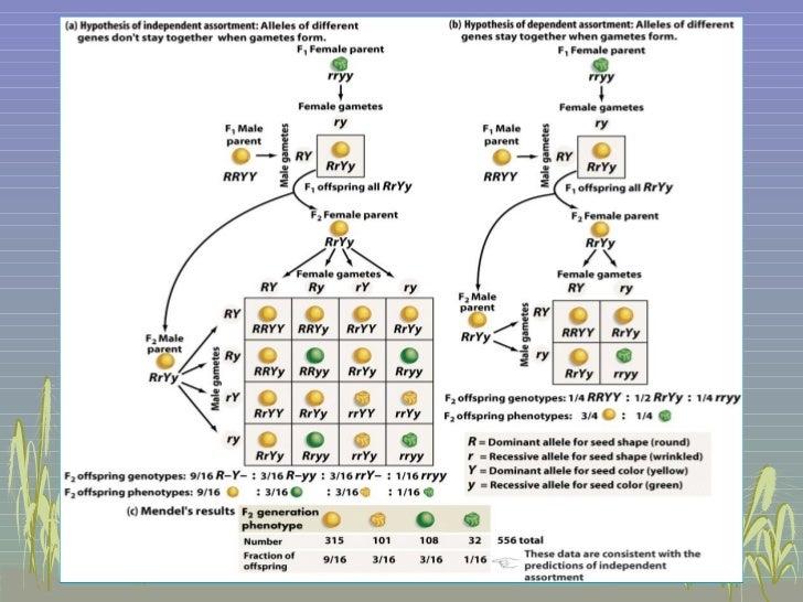 Mendelian genetics genotype vs ccuart Image collections