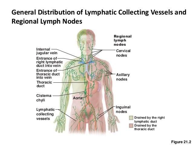 ch20-21lymphatic&immune system, Human Body