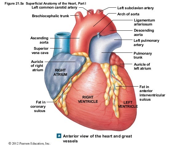Ch 21lecturepresentation 13 figure 215a superficial anatomy of the heart ccuart Gallery
