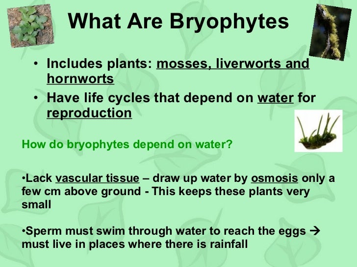 life cycles of bryophytes, seedless vascular plants and gymnosperms essay 29 plant diversity i: how plants colonized land  and other nonvascular plants have life cycles dominated by  plants (bryophytes) seedless vascular plants.