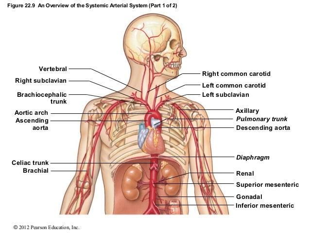 ch 22_lecture_presentation, Cephalic vein