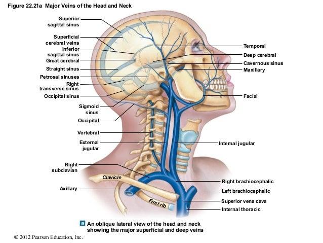 figure 22 21a major veins of the head and neck External Jugular Vein Tributaries