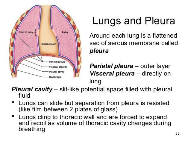 ch22respiratorysystem, Human body