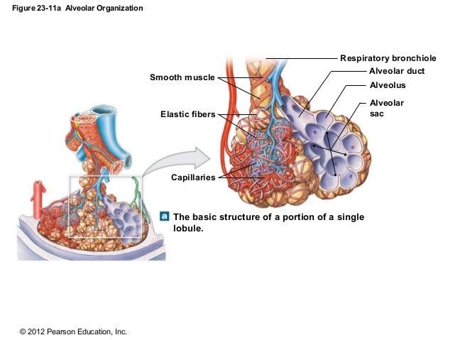ch 23_lecture_presentation, Human Body