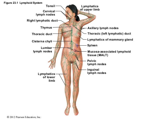8976 as well Diagram Of The Neck Anatomy Back And Neck Muscles Anatomy Neck Anatomy Neck Anatomy Glands also Fishbonehypopharynx likewise Nasopharyngeal Cancer besides . on tonsil location in neck
