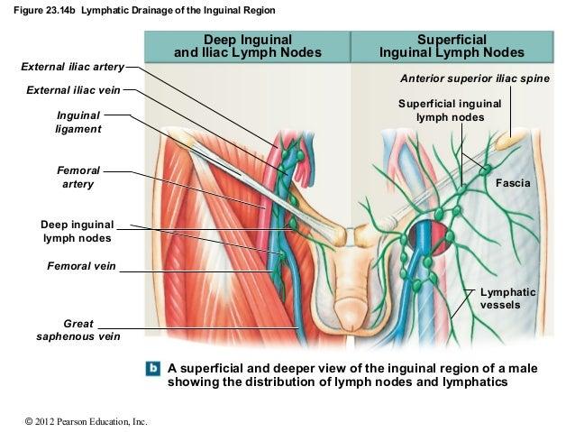 inguinal lymph nodes size - Denmar.impulsar.co