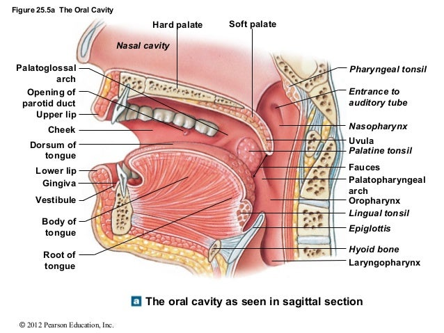 abdominopelvic cavity diagram