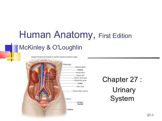 Urinary System Physiology