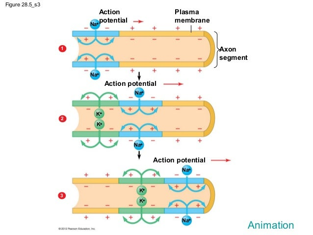 Ch2829 notes nervous system and the eye action potential 13 ccuart Image collections