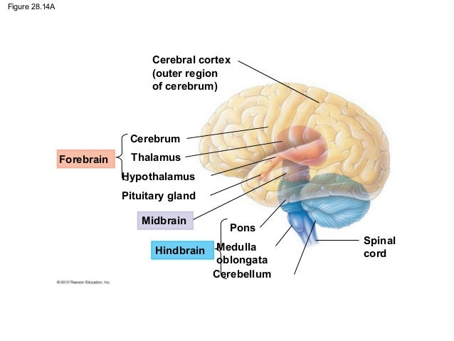 Ch28&29 notes Nervous system and the eye
