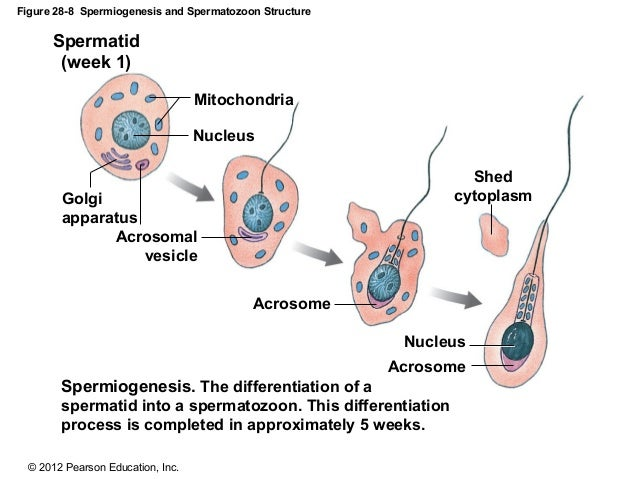 Structure Of A Sperm Cell Illustration 43980330 - Megapixl