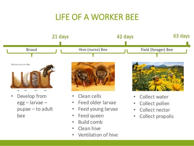 honey bees queen drone and worker with Ch 2 The Honey Bees World on 2 as well How Do You Tell Boy Bee From Girl Bee as well Honeybee Photos besides Honey Bee Life Cycle further Ch 2 The Honey Bees World.