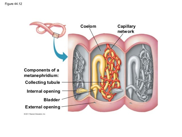 Quia - AP Bio - Osmoregulation and Excretion