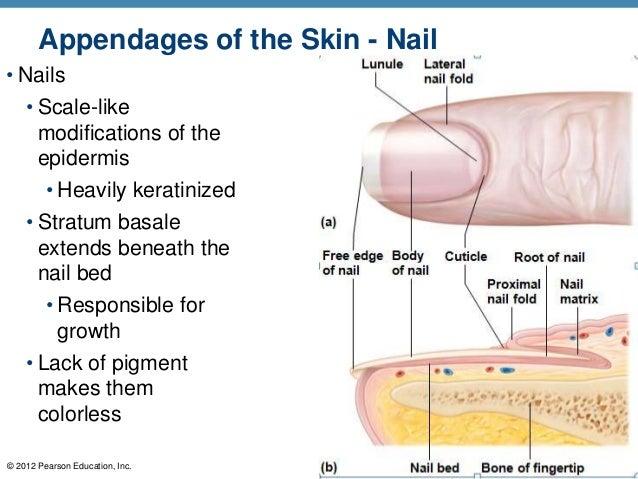 nail skin diagram wiring diagram rh vw31 geniessertrip de