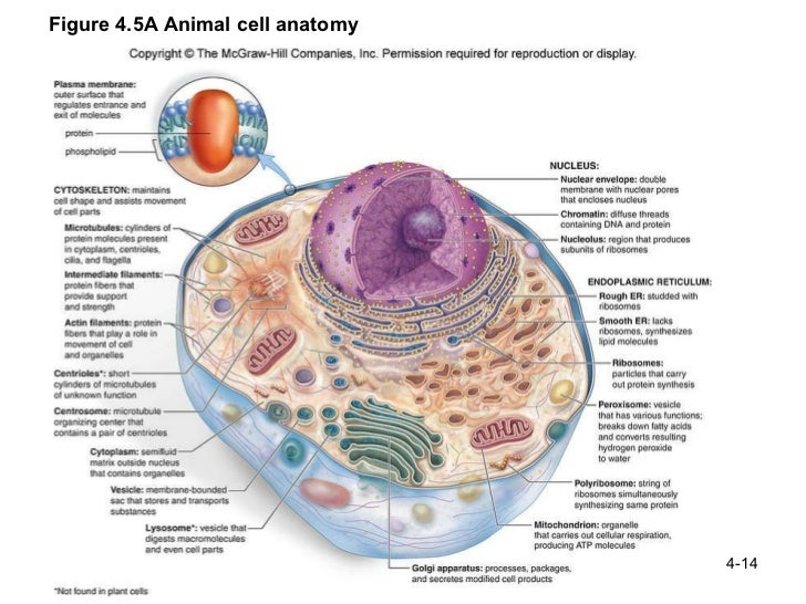 animal cell structure and function - Khafre